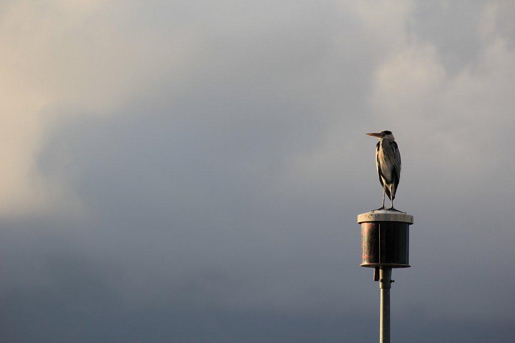 Herons-006.JPG